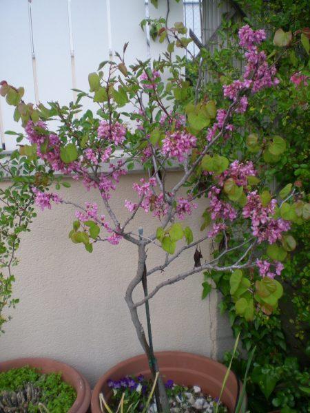 árbol Del Amor árbol De Judas Cersis Siliquastrum Para Mi Jardín