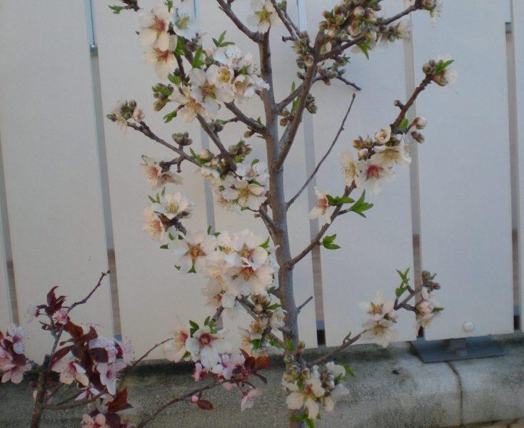 Almendro Prunus Dulcis Prunus Amigdalus Para Mi Jardín