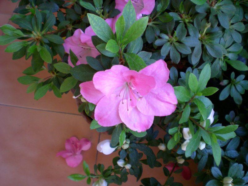 Azalea Rhododendron Para Mi Jardin