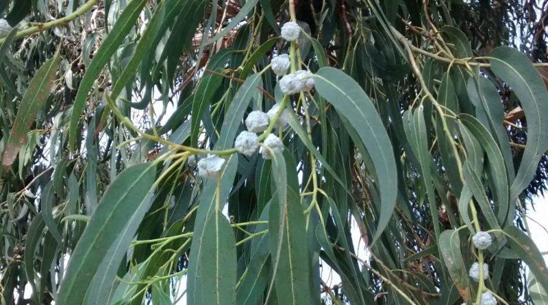 Eucaliptus Blanco-Eucalyptus Globulus