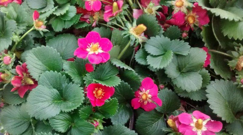 Fresas de flores rosas o rojas-Fragaria x Ananassa rosa o roja