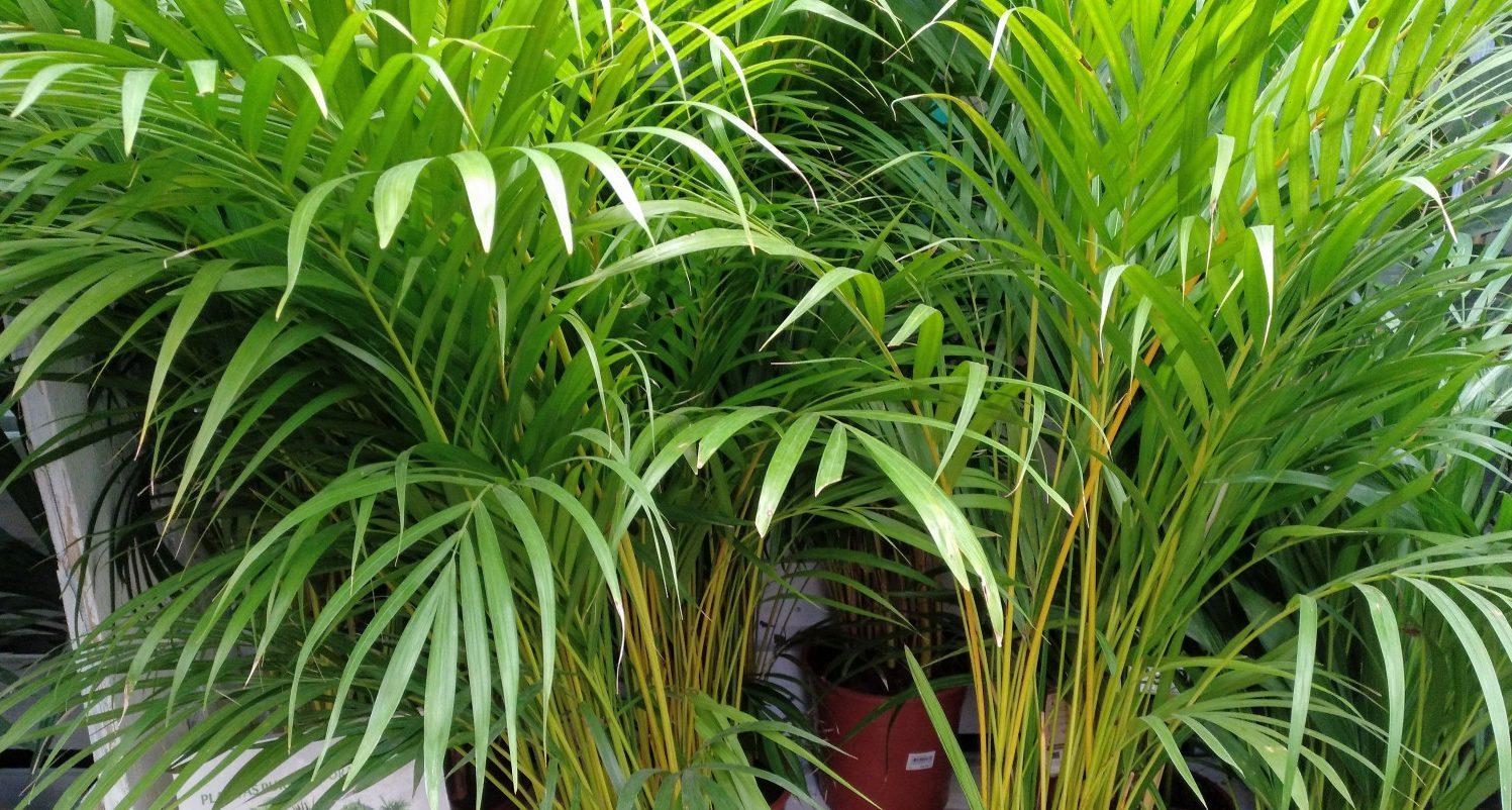 Palmera Bambu-Areca-Dypsis Lutescens-Chrysalidocarpus Lutescens – Para Mi  Jardín