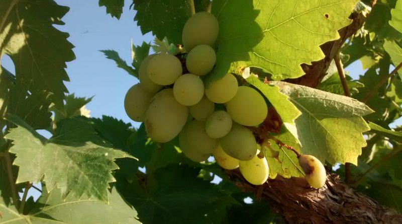 Parra-Vid-Vitis vinifera