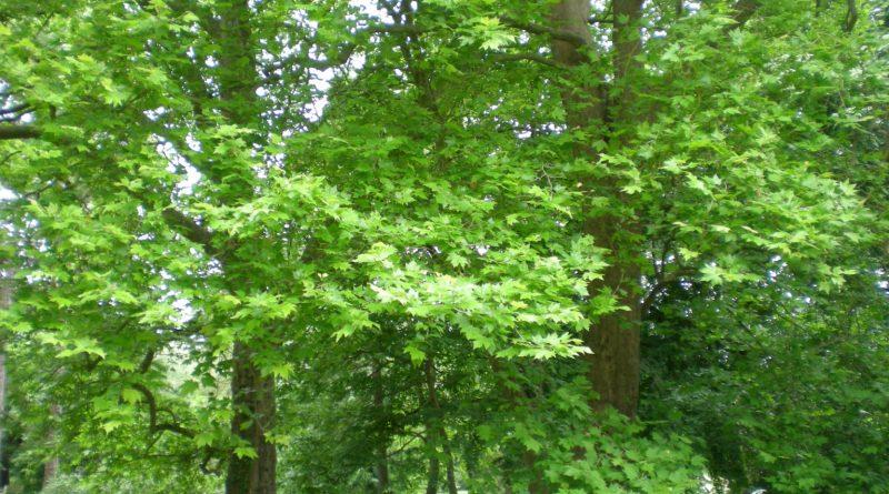 Platanus x Acerifolia-Platanus x Hispanica