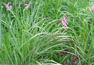 Hierba Cambiante-Panicum Virgatum