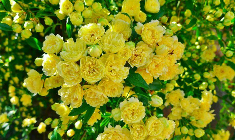 Rosal Banksia-Rosal Banksiae – Para Mi Jardín
