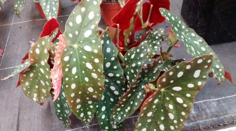 Begonia de Lunares-Begonia Maculata