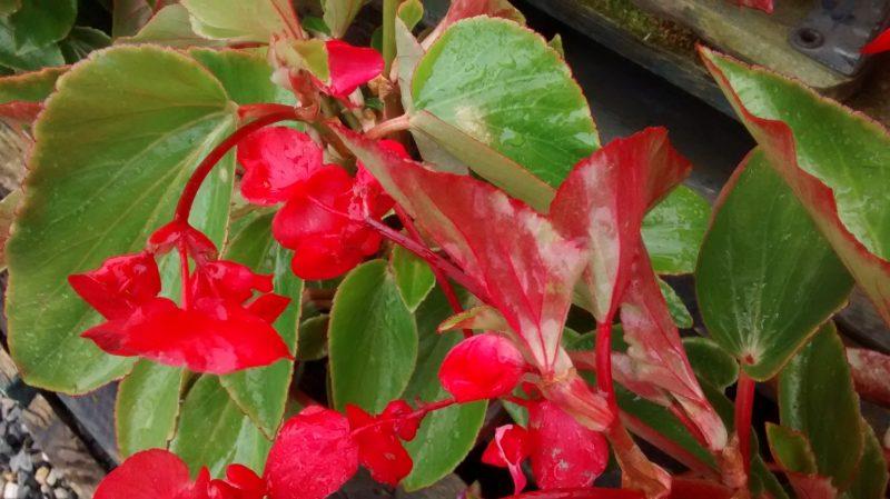 Begonia Dragonera-Begonia Ala de Dragón-Dragon Wing Begonia – Para Mi Jardín