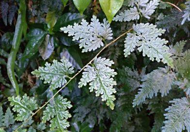 Helecho Pavo Real-Helecho puntiagudo de Wiildenwii-Helecho Azul-Selaginella Willdenowii