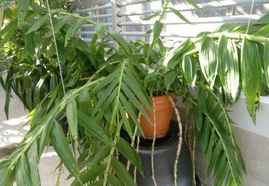 Orquídea Bambu-Thunia Marshalliana