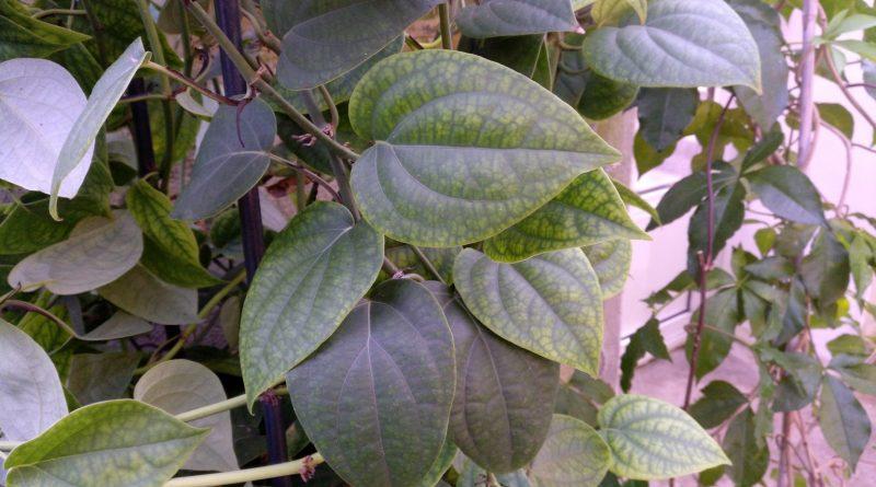 Pimienta negra-Piper Nigrum