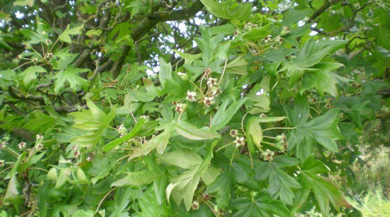 Manzano Silvestre-Malus Trilobata