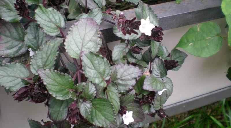 Planta Gofre Purpura-Hemigraphis Alternata