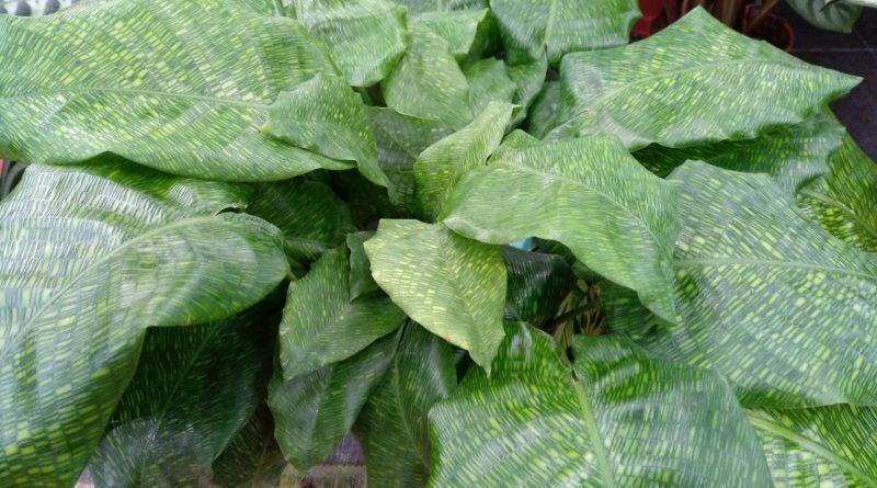 Calathea Cebra-Calathea Mosaico-Calathea Musaica-Calathea Network-Goeppertia Kegeljanii