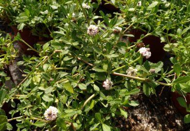Bella Alfombra-Lippia Repens-Lippia Nodiflora