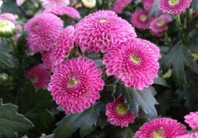 Crisantemo Calimero-Chrysanthemun Calimero