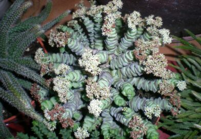 Collar de Jade-Crasula Pagoda China-Crassula Rupestris Marneriana 2