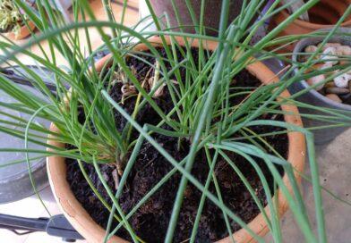 Cebollino-Cebollin-Cebolla de hoja-Ciboulette-Allium Schoenoprasum