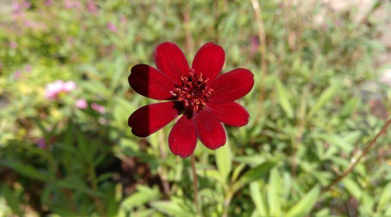 Flor de Chocolate-Cosmos Atrosanguineus