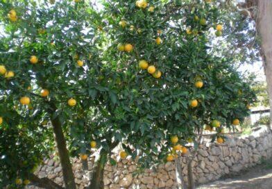 Naranjo Dulce-Naranjo de China-Citrus x Sinensis