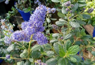Lila de California Yankee Point-Ceanothus Yankee Point