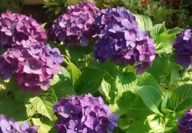 Hortensia Purpura-Hydrangea Macrophylla Rasberry Crush-Hydrangea Macrophylla Marveille Sanguine o Rasberry Fantasy