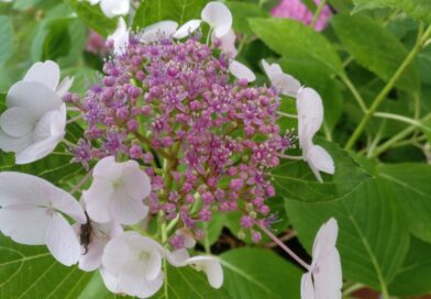 Hydrangea Macrophylla Teller Weiss