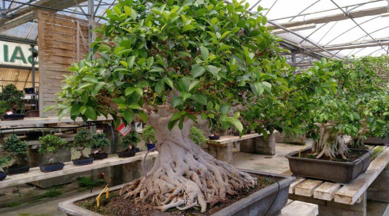 Ficus Microcarpa Bonsai-Ficus Retusa Bonsai