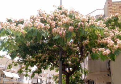 Acacia de Constantinopla-Arbol de la Seda-Albizia Julibrissin