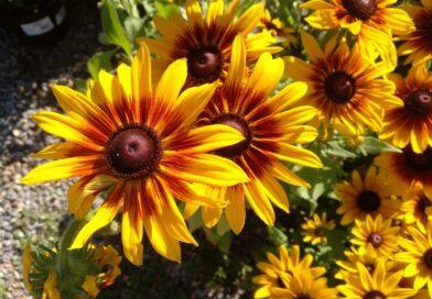 Rudbekia Bicolor-Rudbeckia Bicolor